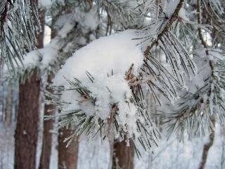 SnowPines-Shutterstock_165919043.jpg