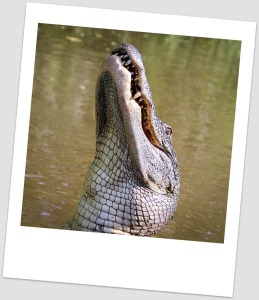 alligator-439887_1280