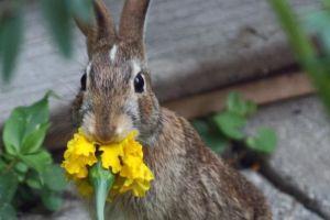 BunnyeatingMarigold