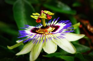 1-Passion Flower