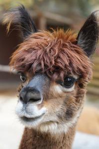alpaca-984891_1280