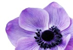anemone-1053017_1920