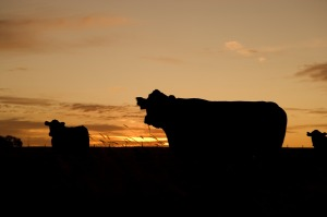 cattle-640985_1280