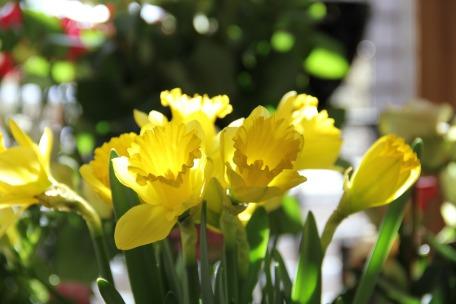 daffodils-125230_1920