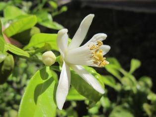 lemon-blossom-1334788_1280