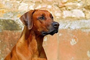 dog, rhodesian-ridgeback-2727035_1280
