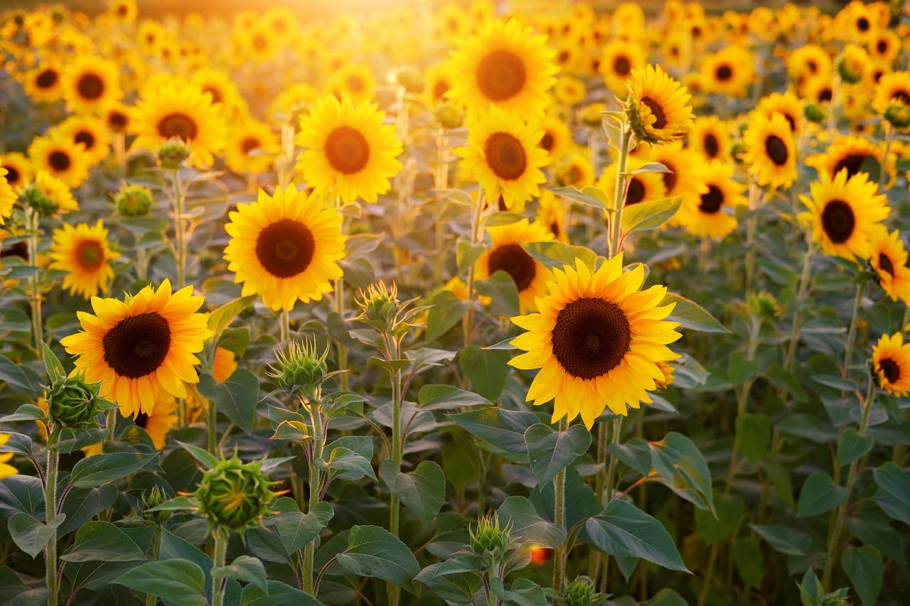 sunflower-field-blooms